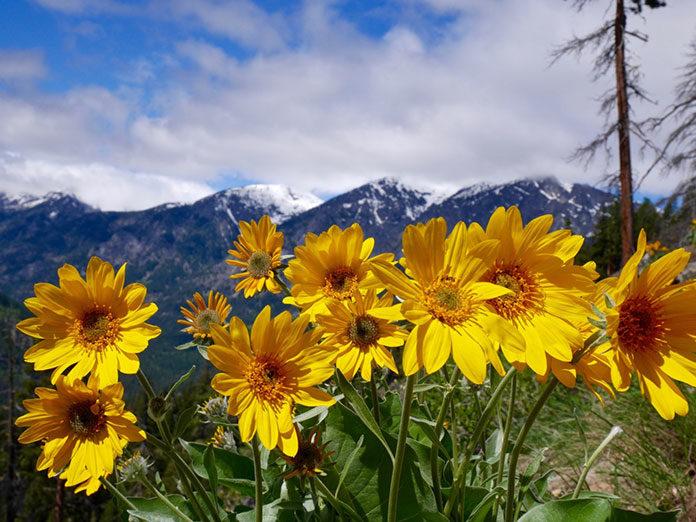 Ból na bok – poznaj cudowne właściwości arniki górskiej